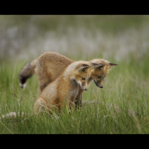 Photograph of two foxes